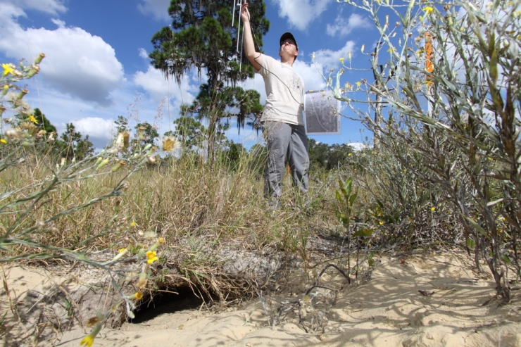 A researcher uses radio telemetry to track a Gopher Tortoise to its burrow.