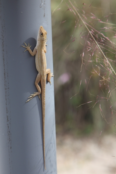 Green Anoles can drastically change their color