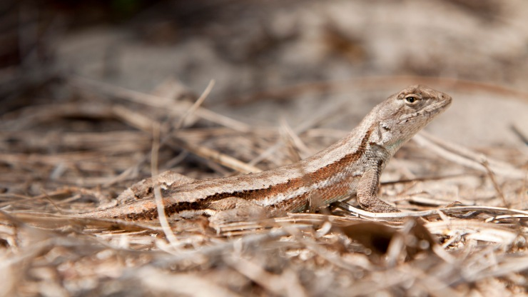 Young Florida Scrub Lizard