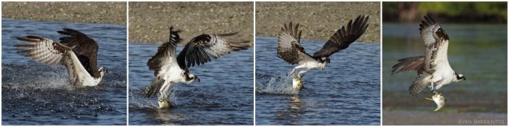 Osprey Catch 4