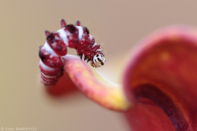 This caterpillar had no trouble crawling down the pitcher's throat. Although I didn't see it actively eating the pitcher, there were several holes on the pitcher it was on.
