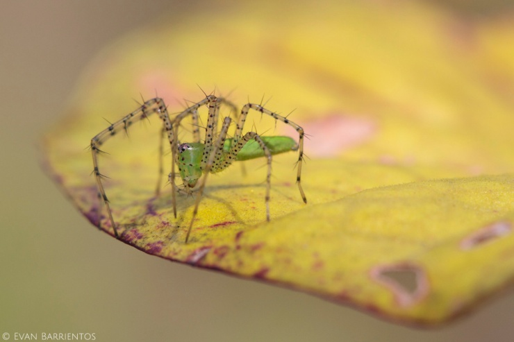 Several pitcher plants had lynx spiders perched on their lids. Perhaps the spiders intercept flying insects that land on the lids searching for nectar.