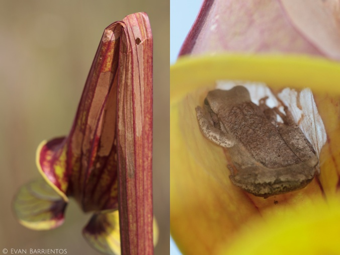 The pitcher that I found the caterpillar on was oddly bent over like the left photo. I noticed a few of these bent pitchers, and one of them had a tree frog hiding inside! Could the caterpillar be creating frog shelters?