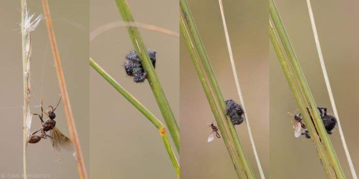 09282015_nebraska_spiderwasp-1