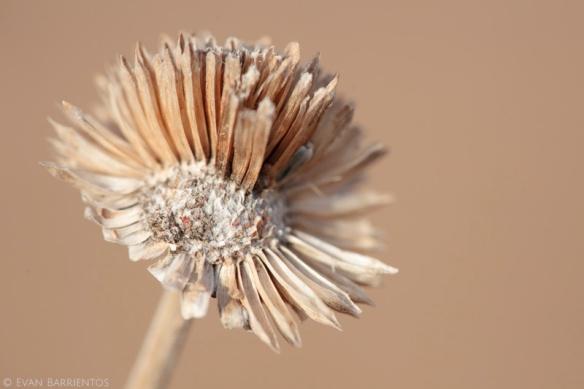 Stiff Sunflower (Helianthus pauciflorus)