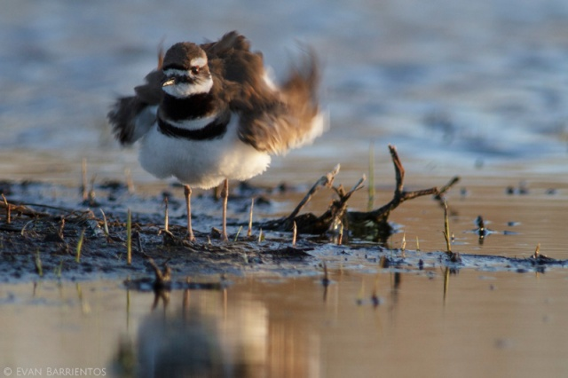 A Killdeer ruffles her feathers after preening in front of me.