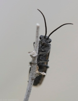 Sawfly (Tenthredinidae sp.)