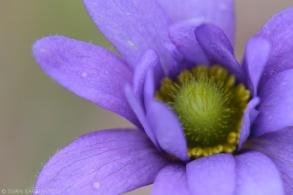Anemone caroliniana