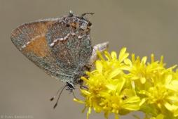 A hairstreak butterfly drinks nectar from Stiff Goldenrod (Oligoneuron rigida).