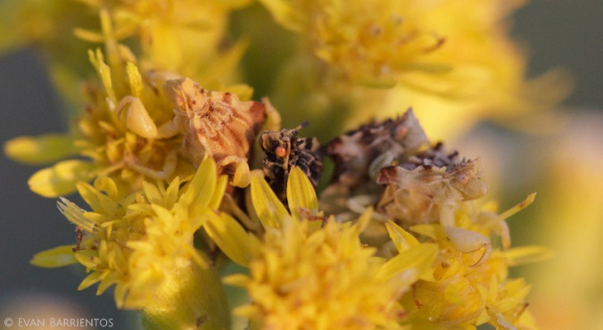 Two pairs of ambush bugs rest peacefully at sunset.