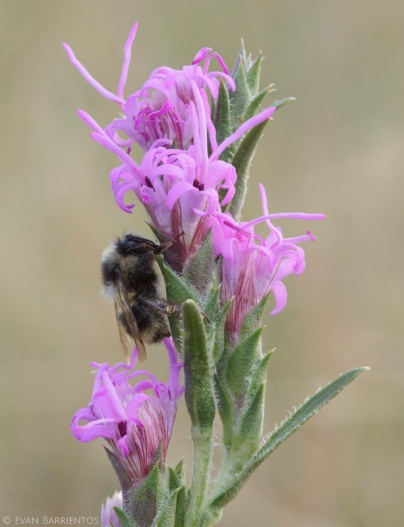 A bumblebee settles down for the night on Dotted Blazingstar (Liatris punctata).