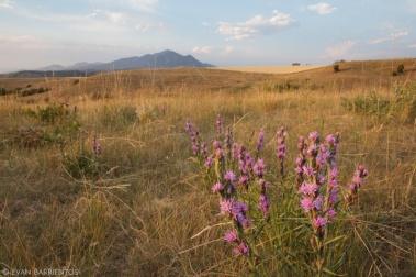 Dotted Blazingstar (Liatris punctata) at Highland Glen Nature Preserve, Bozeman, MT.