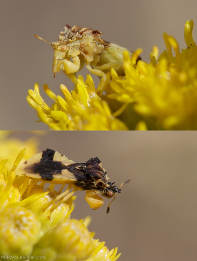 The American Jagged Ambush Bug (Phymata americana), yellow and black morphs (female and male?). Click to zoom in on the tubular mouthparts of the yellow individual, which is usually folded underneath the belly.