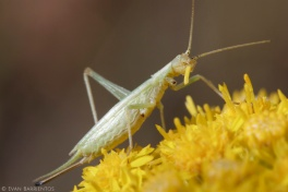 A tree cricket munches on goldenrod petals.