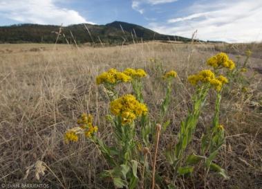 Stiff Goldenrod (Oligoneuron rigida) at Lower Mount Ellis Trail, Bozeman, MT.