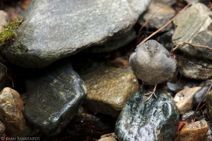 A young American Dipper dreams of the next delicious beakful of wriggling aquatic invertebrates his mother will bring.