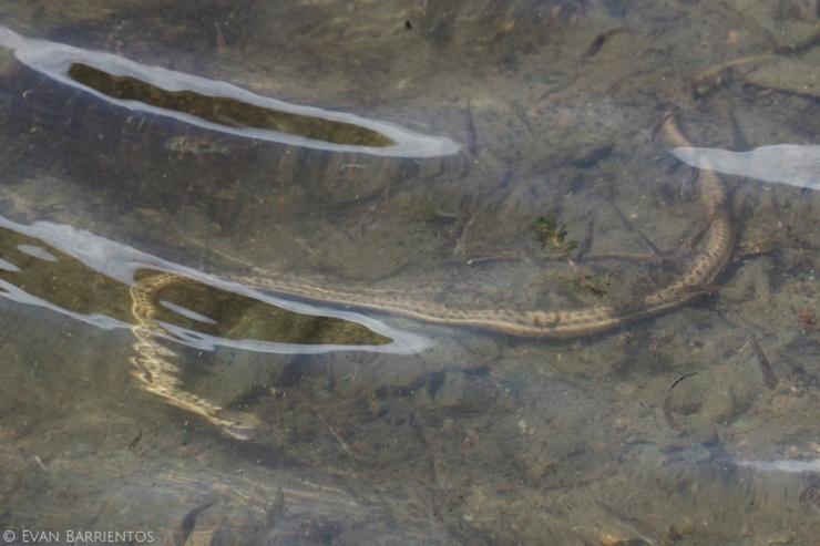 Terrestrial Garter Snake hunting minnows.