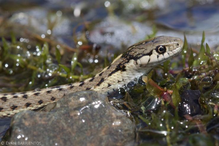Terrestrial Garter Snake (Thamnophis elegans)
