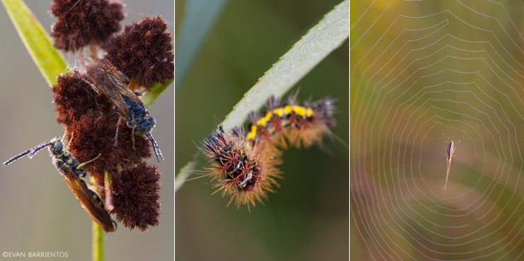 Myzinum wasps, caterpillar, and spider.