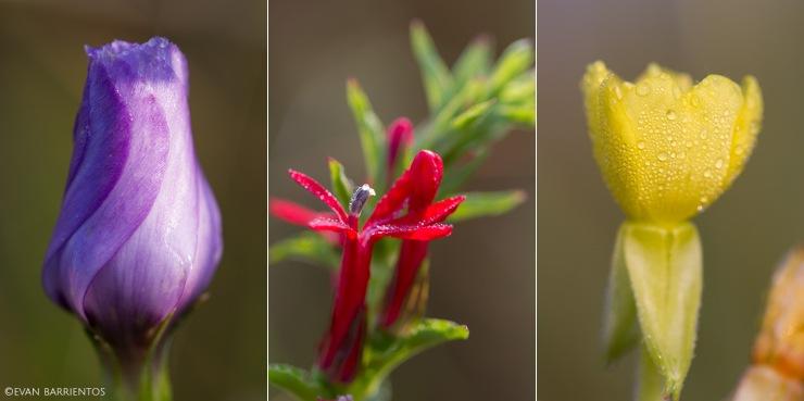 Prairie gentian (Gentiana puberulenta), Cardinalflower (Lobelia cardinalis), and evening primrose