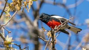 A Painted Redstart.