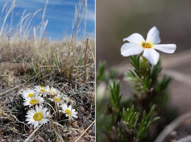 Hooker's Townsend Daisy (Townsendia hookeri) and Prairie Phlox (Phlox andicola)