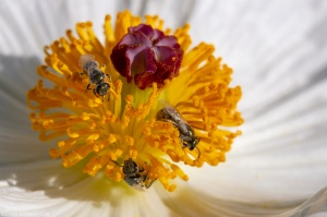 Halactid bees drink nectar from a Crested Prickly Poppy (Argemone polyanthemos) flower.