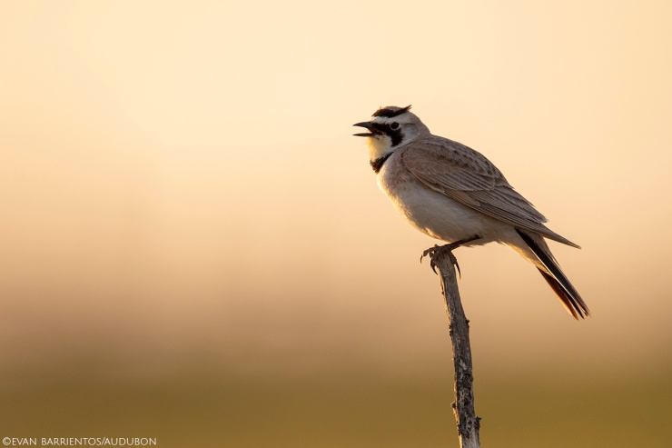 Horned Lark on the May Ranch.