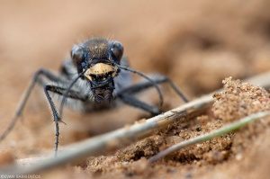 Closeup of the face of a tiger beetle.