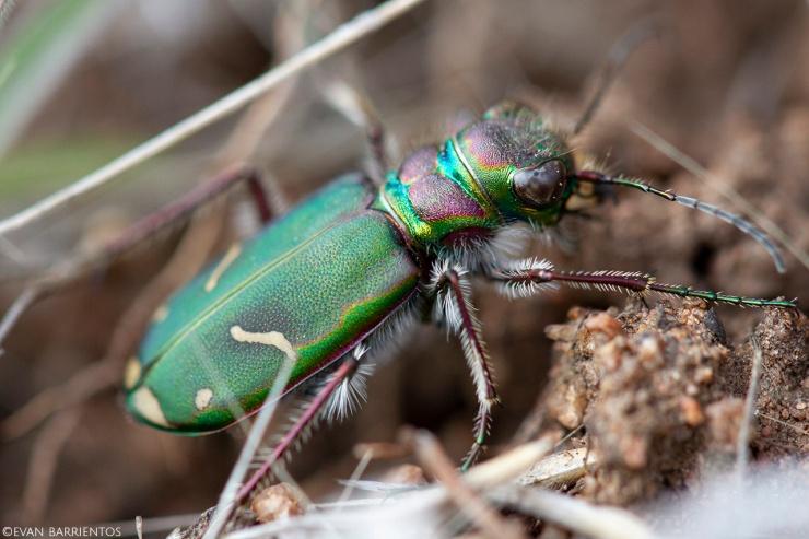 Closeup of a green tiger beetle.