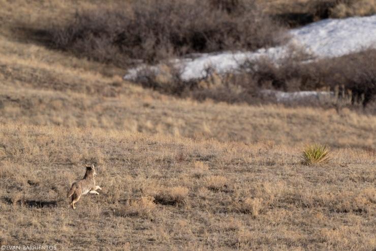 A coyote runs through the prairie.