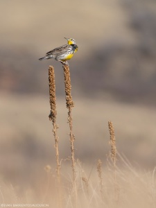 A Western Meadowlark perches on old vegetation in a prairie.