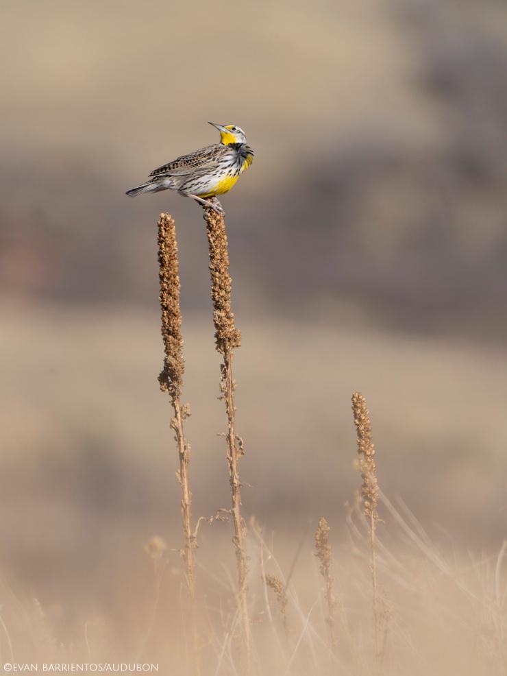 A Western Meadowlark perches on old vegetation in a prairie.