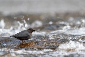 An American Dipper perches on a rock in a rapid stream.
