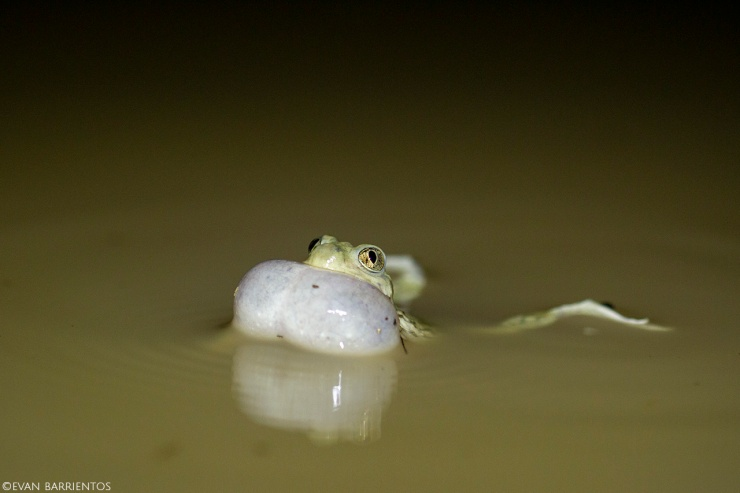 A Plains Spadefoot Toad calls in a puddle.