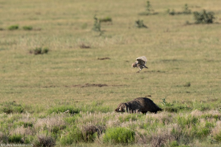 A Burrowing Owl attacks an American Badger.