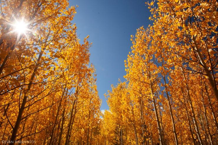 Aspen forest in Roosevelt National Forest.